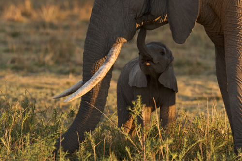 In 1987, African elephants were on Appendix II and a CITES-commissioned