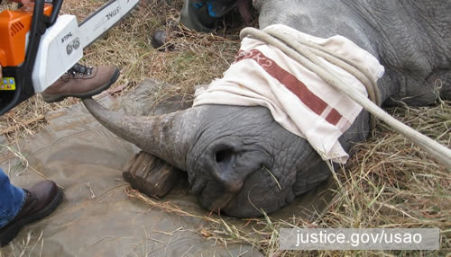 A rhino horn seller in Cameroon provided Li's co-conspirator with a photo of the downed rhino. Photo: justice.gov/usao