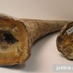 U.S. Operation Crash: Zhifei Li Pleads Guilty to Rhino Horn, Ivory Trafficking