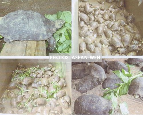 100 Critically Endangered Arakan Forest Turtles are being cared for at the Turtle Rescue Center in Myanmar. Photo via ASEAN-WEN