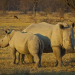 Rhino Horn: Combating Crime with Commerce?