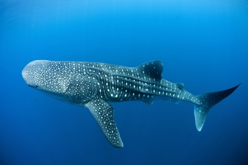 Whale shark in Canderwasih Bay National Park, 15th May 2013, Papua, Indonesia. PHOTO: Paul Hilton /  Greenpeace