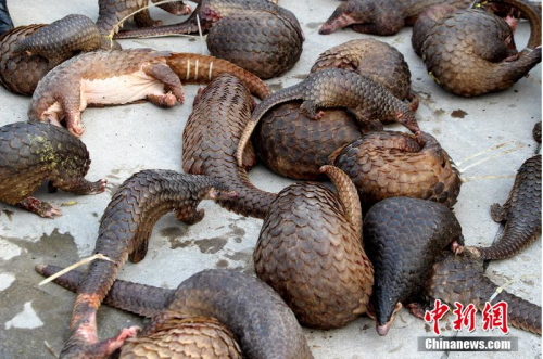 The suspects were smuggling two species of pangolin: Manis pentadactyla and Manis javanica. PHOTO: Chinanews.com