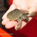 Over 2,000 Pig-Nosed Turtles Fly Home to Uncertainty After Smuggling Attempt