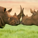 Truth Can Be Stranger Than Fiction: The Rhino Horn and Ivory Trade Paradigm