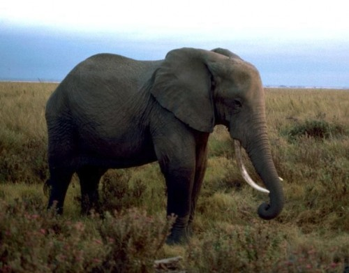 On April 9, 2014, Belgium will publicly demonstrate its commitment to elephant protection by destroying its ivory stockpile. Photo by Gary M. Stolz, U.S. Fish and Wildlife Service  via Wikimedia Commons