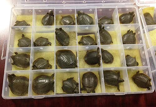 Indian Narrow-headed Softshell Turtles seized during at attempt to smuggle them via Bangkok. Photo © & courtesy of TRAFFIC