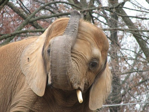 Belgium is the seventh country since June 2012 to rid itself of stockpiled ivory. Photo by Ltshears - Trisha M Shears via Wikimedia Commons