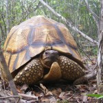 New Project Launched to Tackle Trafficking in Critically Endangered Ploughshare Tortoises