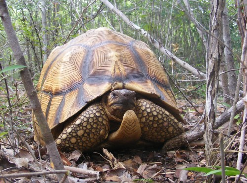 Fewer than 500 adult ploughshare tortoises remain in the wild, due to trafficking for the pet trade. PHOTO: Durrell Wildlife Conservation Trust