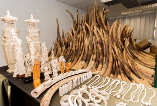 A portion of Hong Kong's massive confiscated ivory stockpile. Photo: Hong Kong for Elephants