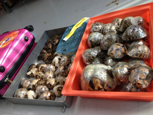 Smuggled baby ploughshare tortoises endure tremendous cruelty, thanks to hobbyists and collectors. PHOTO: TRAFFIC