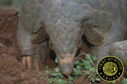 More than three tons of pangolin scales from Africa were seized in Asia during the first six months of 2014. PHOTO: Tikki Hywood Trust
