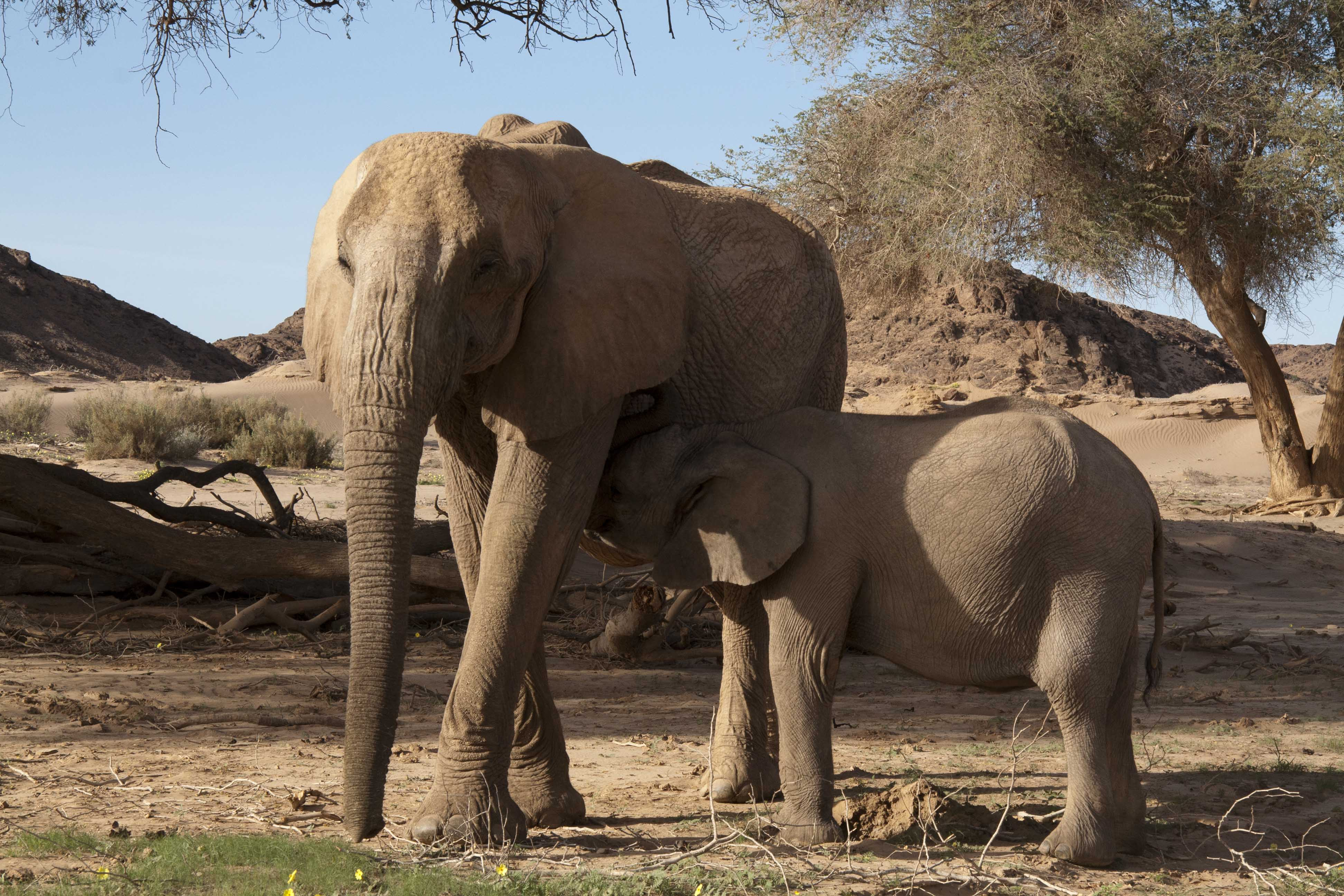 Controversy Grows as First Desert Elephant Shot in Namibia ...  Controversy Gro...