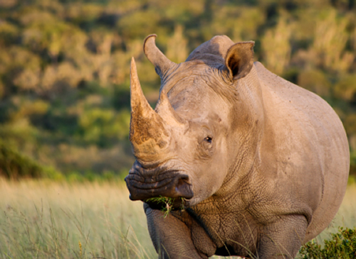 Governments, economists and conservationists who think they can curb poaching by selling rhino horn and ivory legally have little understanding of macroeconomics or the sophistication of international crime syndicates.  Photo: istockphoto.com