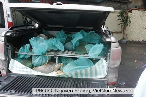 There have been at least four pangolin trafficking incidents in Vietnam during the first six months of 2014. PHOTO: Nguyen Hoang, VietNamNews.vn