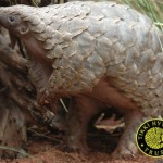 Progress for Pangolins at CITES Meeting in Geneva
