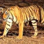Forgotten Tigers: Have Stripes Become Unfashionable?