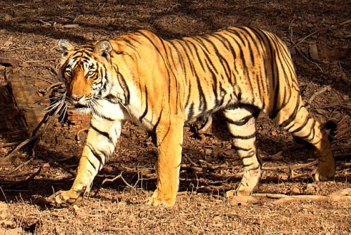 """"""" If numbers of tigers are used as a measurement of success, our efforts have failed. And failed miserably."""" PHOTO by Bjørn Christian Tørrissen  via Wikimedia Commons"""