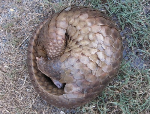 A pangolin's main defense mechanism – curling into a ball – tragically makes it easier to  poach. Photo: Wildlife Alliance