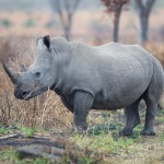 South Africa's Rhino Horn 'Trade Feasibility Panel' Still Undisclosed