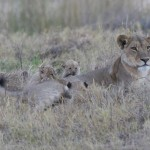 Europeans Opposed to Canned Hunting Explore Ways of Banning Lion Trophies