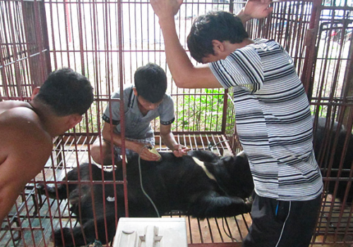 Bear bile extraction taking place in a Laotian bear farm, 2012 PHOTO © TRAFFIC
