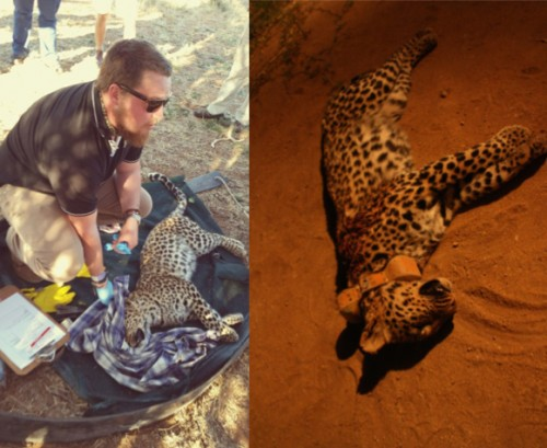 A female leopard collared in August 2014 as part of a research project was shot and killed in October 2014 by a farmer. PHOTO CREDIT: Landmark Foundation