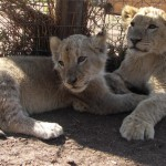 South Africa: Lion 'Farmers' Reducing the King of Beasts to Easy Prey for 'Hunters'