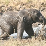 CITES Responds to 'Baby Elephants Captured in Zimbabwe' Situation