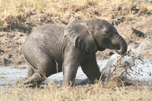 It is legal for Zimbabwe to export live elephants, but is it ethical? Photo by Profberger via Wikimedia Commons