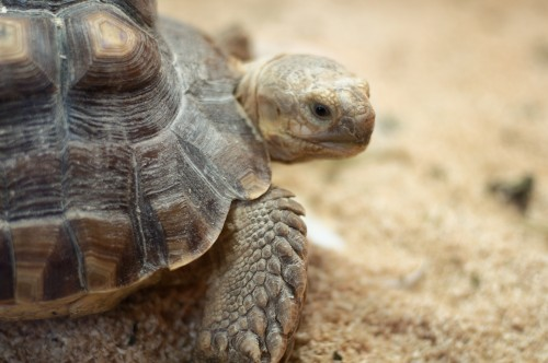 A tortoise trafficker identified as Kwong Wa Cheung was sentenced to two months in federal prison and fined $12,000 for attempting to smuggle 46 tortoises from California to Hong Kong. Photo by Derrick Coetzee via Wikimedia Commons.