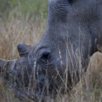 Czech Officials File Criminal Charges Against 16 Rhino Horn Traffickers