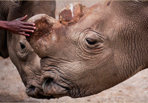 Suni was one of the four northern whites residing on Ol Pejeta Conservancy. He was born 34 years ago at the Dvůr Králové Zoo as the first-ever northern white rhino to be born in captivity. PHOTO via Ol Pejeta Conservancy