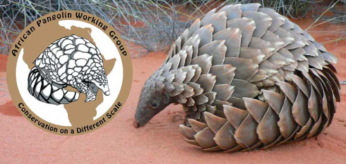 The African Pangolin Working Group will be formally launched on 19 February 2015. Photo via pangolin.org.za