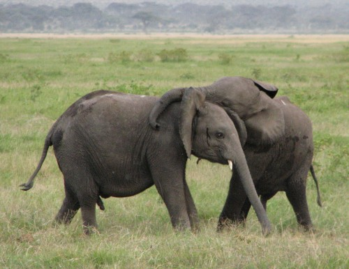 AB 96 aims to close trade loopholes which have allowed illegal ivory sales to flourish in California. Photo by Kunalk278 via Wikimedia Commons
