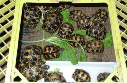 Radiated Tortoises: 170 were seized in France in December 2014, en route to Lao PDR. PHOTO © Xu Ling / TRAFFIC
