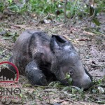 Critically Endangered Sumatran Rhino Pregnant with Second Baby