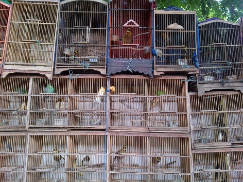 Rows of cages at a stall just outside Pramuka market. Photo: Kanitha Krishnasamy/TRAFFIC