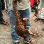 Brazen Pangolin Trader Caught on Film in Malaysia