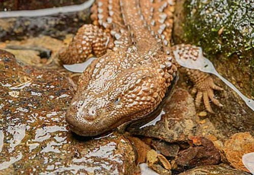 Earless monitor lizards are protected in their range states of Brunei Darussalam, Indonesia and Malaysia. Photo © Ch'ien C. Lee / Rainforest Pictures of Tropical Asia