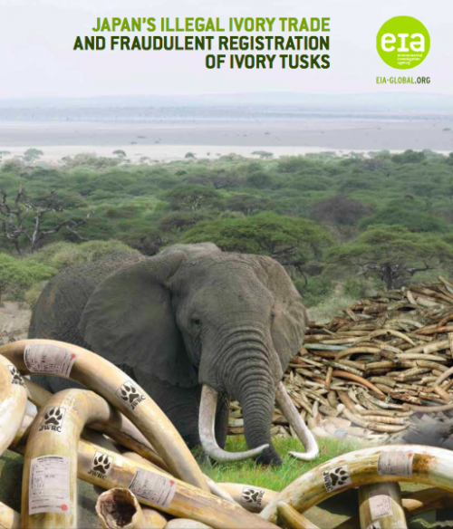 An undercover investigation by the Environmental Investigation Agency (EIA) found Japanese ivory traders routinely willing to undertake illegal activities to evade the law in order to secure tusk registration.