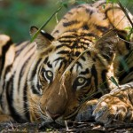 World Leaders are Wasting Time the Tiger Does Not Have