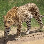 Good News for Leopards: South Africa Bans Leopard Trophy Hunting for 2016