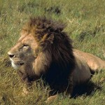 Lion Culling: A Paradox of Banning Trophy Hunting?