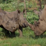 South Africa Rhino Horn Trade Proposal Hidden in DEA Budget