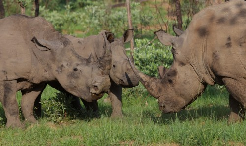 South Africa's scheme to propose a legal trade in rhino horn is likely to bring embarrassment to the host country at CITES COP17. Photo courtesy of Conservation Action Trust.