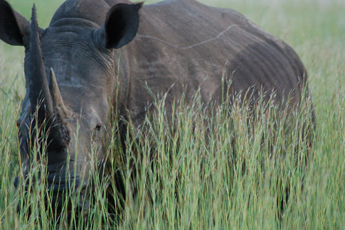 "Swaziland hopes to sell its white rhino horn stockpile as well as horns ""harvested"" from white rhinos. Photo by nick farnhill via Wikimedia Commons"