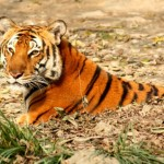 Disappointment: China's Draft Wildlife 'Protection' Law Favors Tiger Trade