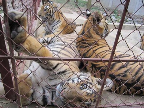 Tiger 'farms' are undermining efforts to save  wild tigers. Photo via Education for Nature-Vietnam.